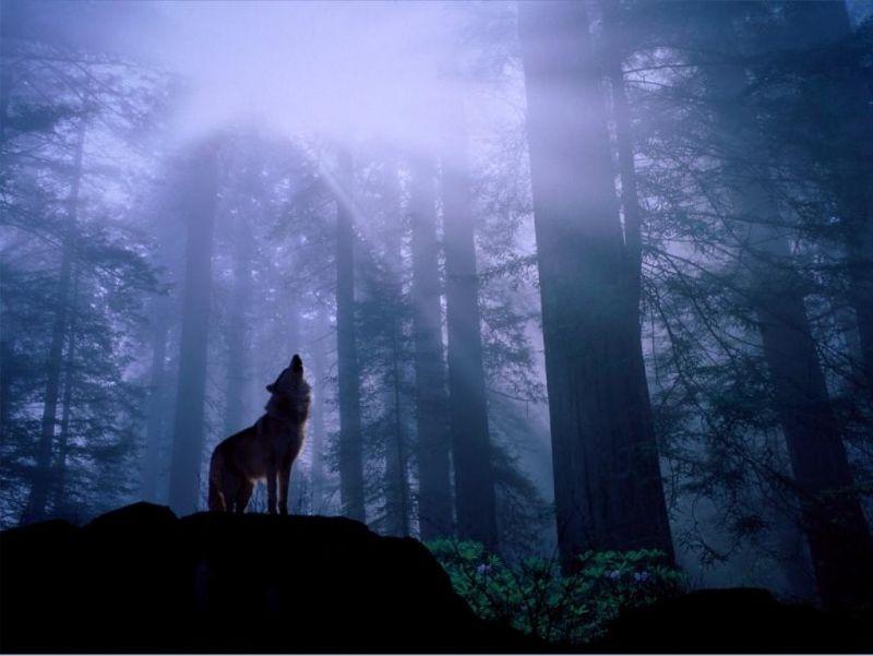 wallpaper wolf. wolf wallpaper. wolf